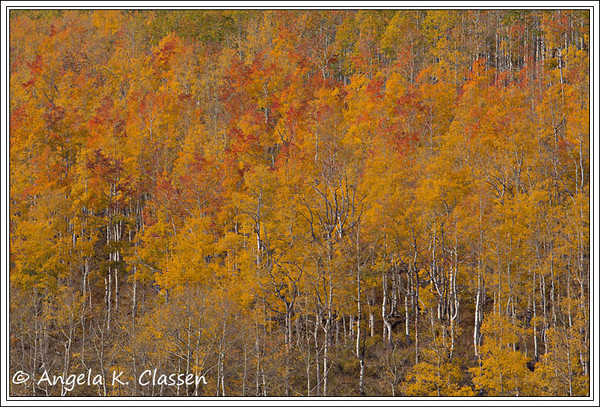 Colorful leaves and white trunks create an interesting contrast on this mountainside near Rabbit Ears Pass, Steamboat Springs