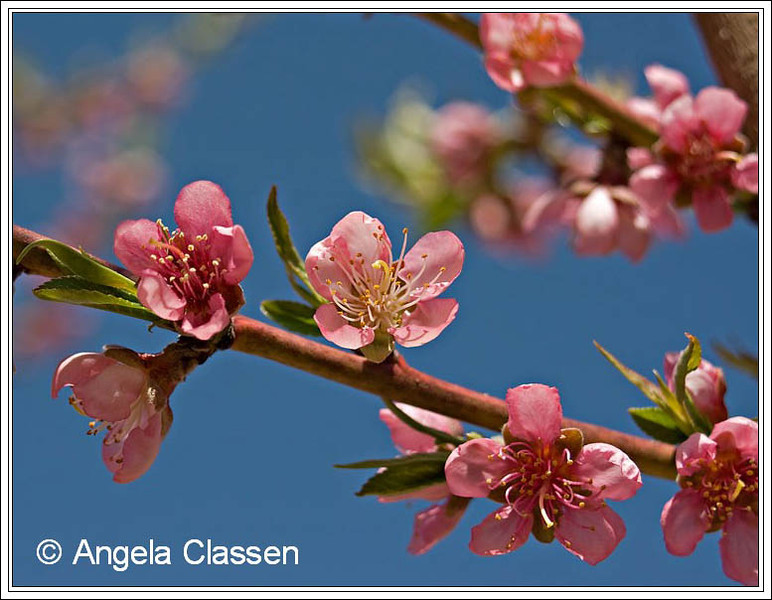 Just peachy! Delicate peach blossoms fragrance the air in early spring in the Grand Valley