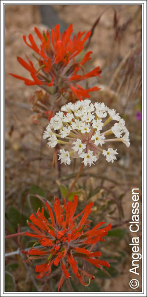 Vibrant indian paintbrush and elegant sand verbena make an interesting color combination