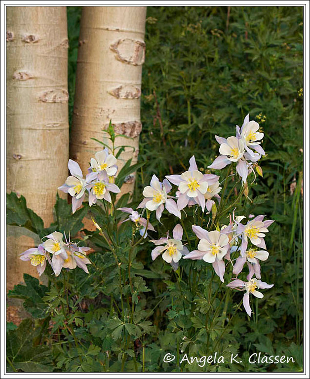Columbines near Crested Butte, the Wildflower Capital of Colorado