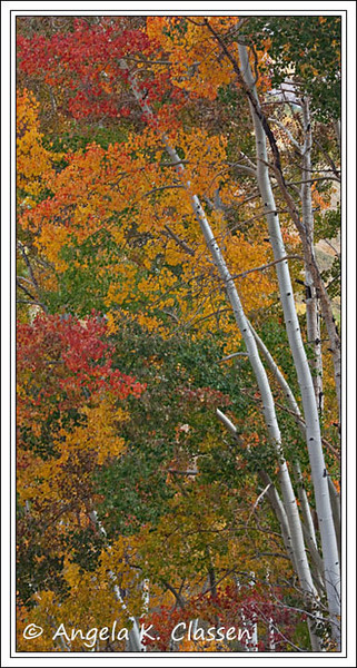 A mixed bag of vibrant colors cling to this grove of aspens on the Last Dollar Road near Telluride, Colorado