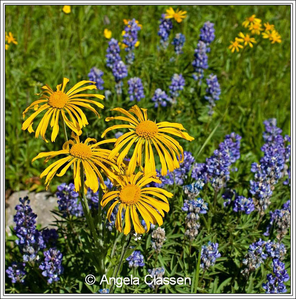 Sneezeweed and lupine bloom in a meadow on the Grand Mesa, near Grand Junction, Colorado