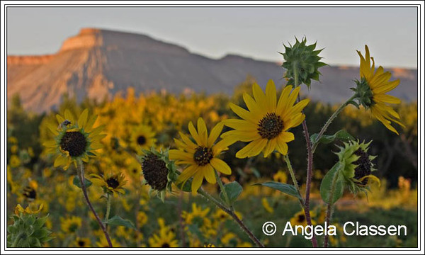 Wild sunflowers in an orchard facing Mt. Garfield