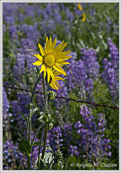 Wildflowers, Crested Butte, Colorado