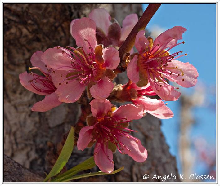 Peach blooms, Palisade