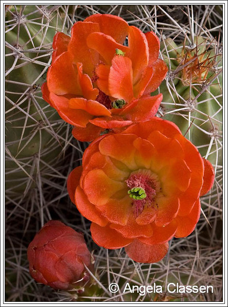 Claret cup cactus in early spring