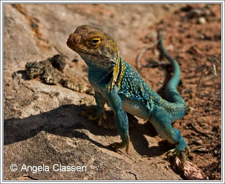 Collared lizards are common in the desert areas around Grand Junction, Colorado