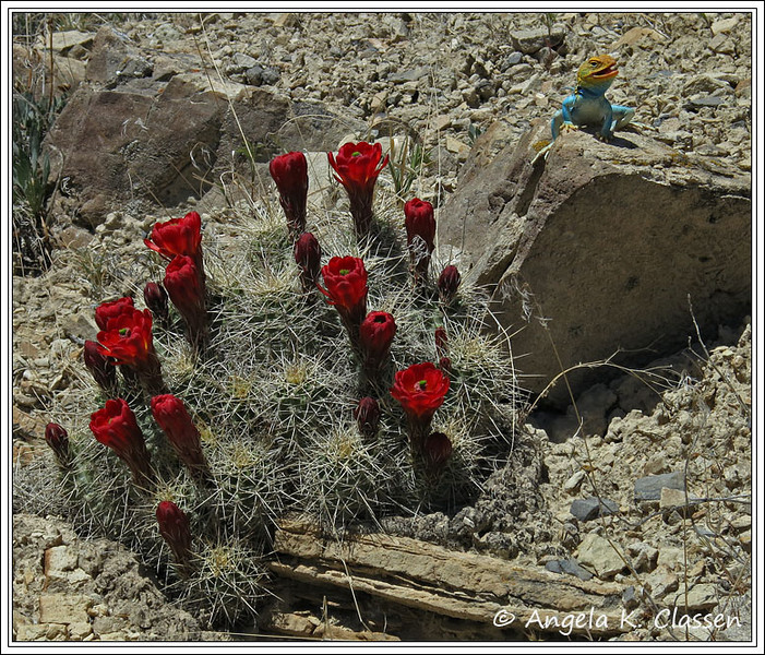 A bright collared lizard poses on a rock next to a claret cup cactus - quite a colorful combination!
