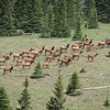 This photo is just a part of a herd that had about 200 elk.  They were running along side us.  Nice.  Can you see the Bull?