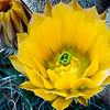 Yellow Hedgehog Cactus Flower