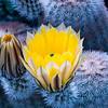 Yellow Hedgehog Cactus Flower II