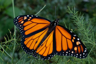 monarch6218