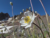 anemone blossom