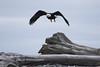 Bald Eagle Dungeness Spit-7146