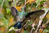 Magnificient Hummingbird-4523