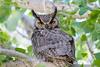 Great Horned Owl Spring 2016-0553