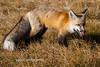 Red Fox-1
