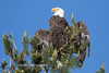 Tahoe Bald Eagle Summer 2016-12