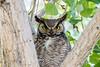 Great Horned Owl Spring 2016-0506