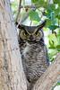 Great Horned Owl Spring 2016-0505