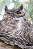 Great Horned Owl Fall 2016-2