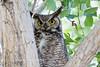 Great Horned Owl Spring 2016-0496