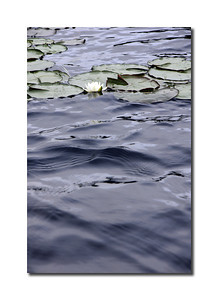 Water Lily, St. Croix River, Maine