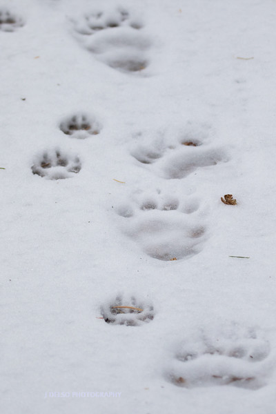 Bear and Coyote Tracks-5310