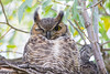 Great Horned Owl Fall 2016-1