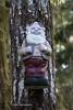 Tree Gnome Tahsis BC-7238