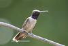 Black-chinned Hummingbird-1396