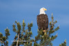 Tahoe Bald Eagle Summer 2016-1