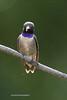 Black-chinned Hummingbird-1392