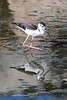 Black-necked Stilt-4081