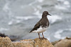 Black Turnstone-3862