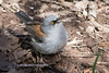 Yellow-eyed Junco-1044