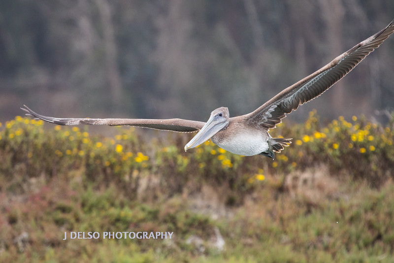 Brown Pelican-3847