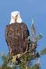 Tahoe Bald Eagle Summer 2016-3