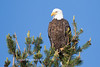Tahoe Bald Eagle Summer 2016-9