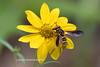 Pollen Wasp-4510