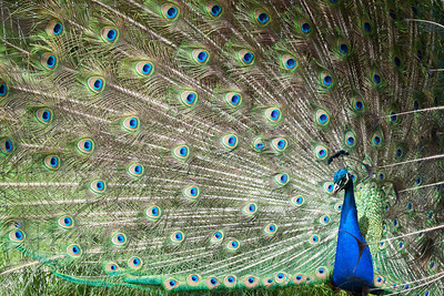 Peafowl or Peacock  Kingdom: Animalia Phylum: Chordata Class: Aves Order: Galliformes Family: Phasianidae Geus: Pavo Species: P. cristatus