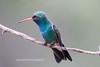 Broad-billed Hummingbird-4540