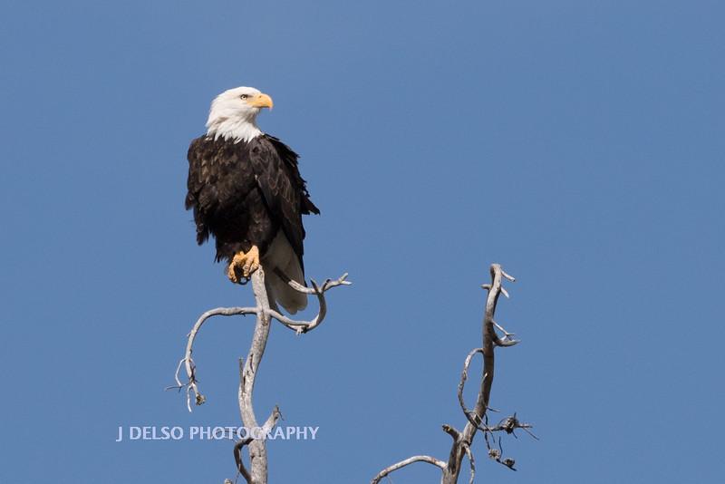 Bald Eagle Fall 2015-7172