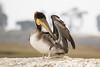 Brown Pelican-3815