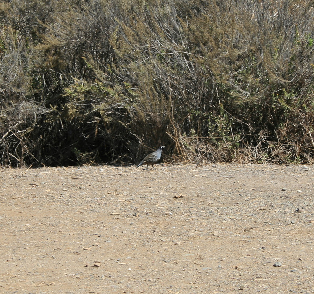 California Quail (<i>Callipepla californica</i>)  Point Mugu state Park 9 Oct 2011