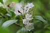 """Mountain Laurel"""
