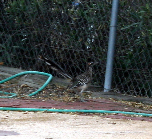 Greater roadrunner (<i>Geococcyx californianus</i>), Lakeview Mountains, 5 Sep 2011