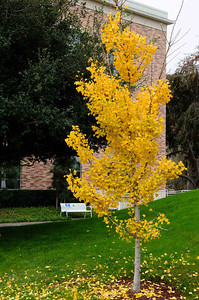 Fall color found in December at Chapman University in Orange.