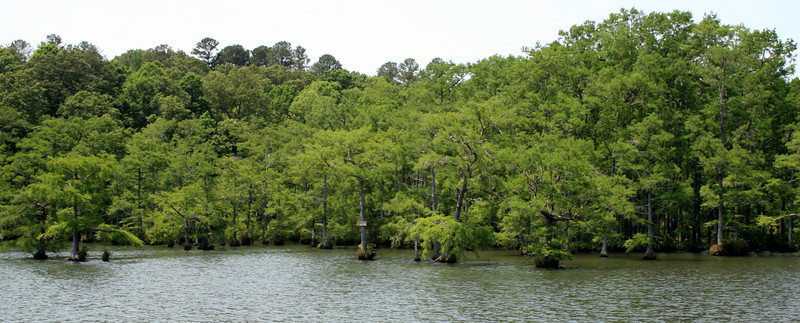 Bald Cypress Trees (<i>Taxodium Distichum</i>), Wall Doxey State Park, Waterford, MS. 20 May 2011.