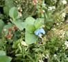 Asiatic Dayflower (<i>Commelina communis</i>) , Lakeview Mtns., 11 Sep 2011